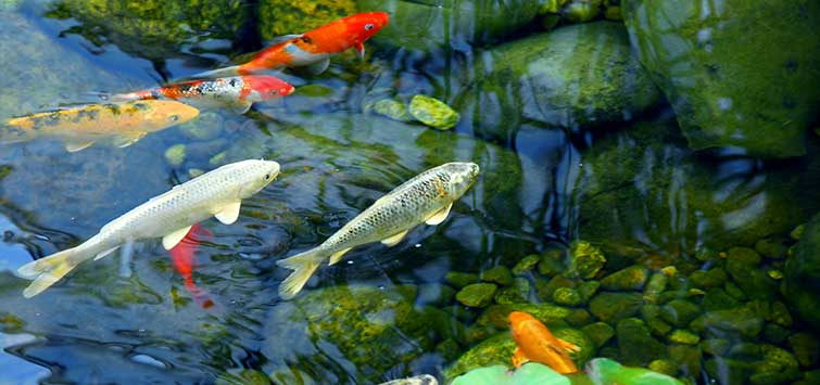 How to Keep Koi Fish Pond Water Clear?