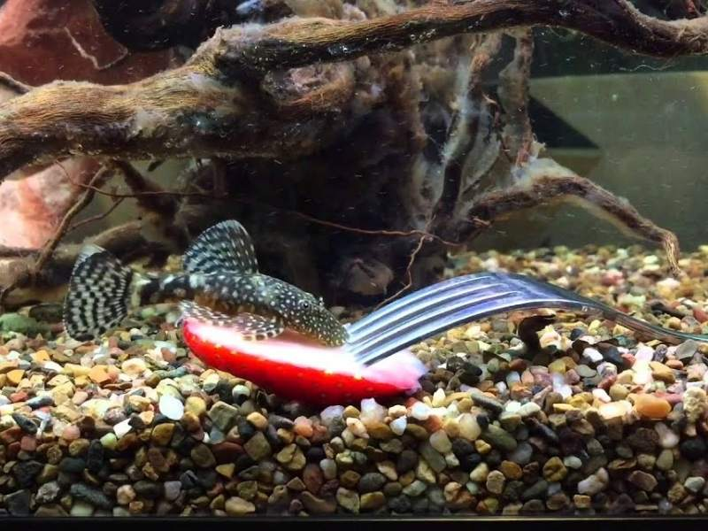Can Fish Eat Strawberries?