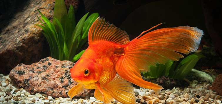 Why Does My Goldfish Make Bubbles on Top?